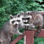Keep Raccoons Out Of Garden
